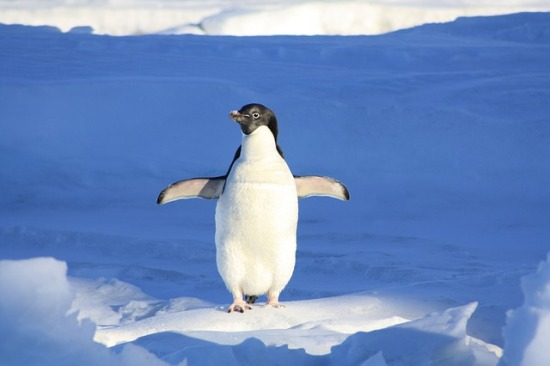 A lone penguin on snow and ice, wings outstretched.