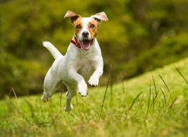Small joyful dog bounding mid air on grass.